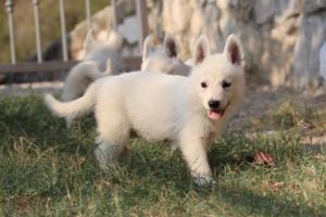 White-Swiss-Shepherd-Puppies-BTWW-GosaNostra-September-20092018-0135