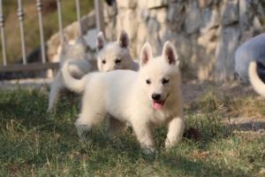 White-Swiss-Shepherd-Puppies-BTWW-GosaNostra-September-20092018-0136