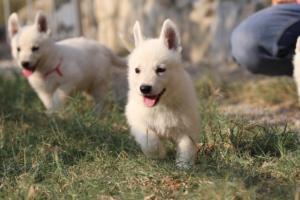 White-Swiss-Shepherd-Puppies-BTWW-GosaNostra-September-20092018-0137