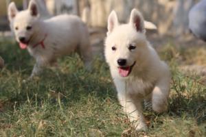 White-Swiss-Shepherd-Puppies-BTWW-GosaNostra-September-20092018-0138