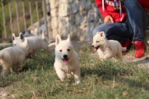 White-Swiss-Shepherd-Puppies-BTWW-GosaNostra-September-20092018-0139