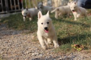 White-Swiss-Shepherd-Puppies-BTWW-GosaNostra-September-20092018-0140