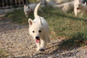 White-Swiss-Shepherd-Puppies-BTWW-GosaNostra-September-20092018-0141
