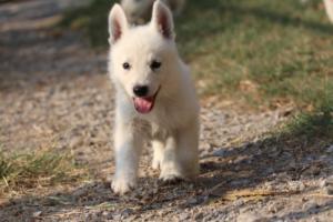 White-Swiss-Shepherd-Puppies-BTWW-GosaNostra-September-20092018-0142