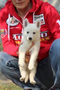 White-Swiss-Shepherd-Puppies-BTWW-GosaNostra-September-20092018-0144