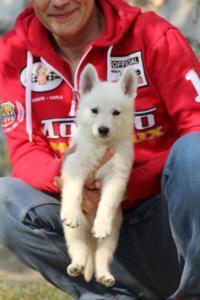 White-Swiss-Shepherd-Puppies-BTWW-GosaNostra-September-20092018-0145