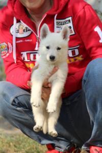 White-Swiss-Shepherd-Puppies-BTWW-GosaNostra-September-20092018-0146