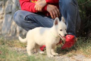 White-Swiss-Shepherd-Puppies-BTWW-GosaNostra-September-20092018-0149