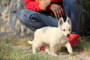 White-Swiss-Shepherd-Puppies-BTWW-GosaNostra-September-20092018-0150