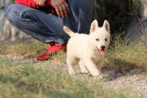 White-Swiss-Shepherd-Puppies-BTWW-GosaNostra-September-20092018-0151