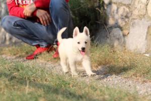 White-Swiss-Shepherd-Puppies-BTWW-GosaNostra-September-20092018-0152