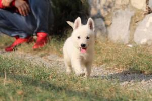White-Swiss-Shepherd-Puppies-BTWW-GosaNostra-September-20092018-0153