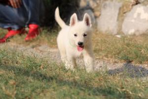 White-Swiss-Shepherd-Puppies-BTWW-GosaNostra-September-20092018-0154