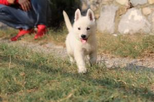 White-Swiss-Shepherd-Puppies-BTWW-GosaNostra-September-20092018-0155
