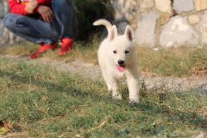 White-Swiss-Shepherd-Puppies-BTWW-GosaNostra-September-20092018-0156