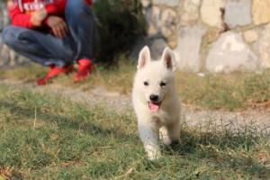 White-Swiss-Shepherd-Puppies-BTWW-GosaNostra-September-20092018-0157