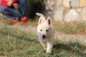 White-Swiss-Shepherd-Puppies-BTWW-GosaNostra-September-20092018-0158