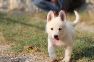 White-Swiss-Shepherd-Puppies-BTWW-GosaNostra-September-20092018-0159
