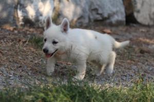 White-Swiss-Shepherd-Puppies-BTWW-GosaNostra-September-20092018-0162