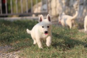 White-Swiss-Shepherd-Puppies-BTWW-GosaNostra-September-20092018-0163