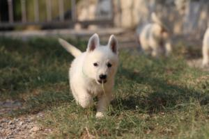 White-Swiss-Shepherd-Puppies-BTWW-GosaNostra-September-20092018-0164