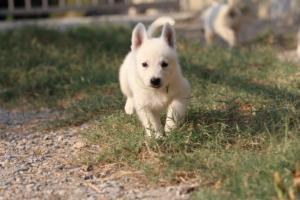 White-Swiss-Shepherd-Puppies-BTWW-GosaNostra-September-20092018-0165