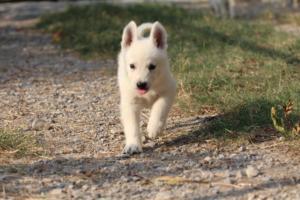 White-Swiss-Shepherd-Puppies-BTWW-GosaNostra-September-20092018-0166