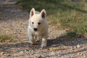 White-Swiss-Shepherd-Puppies-BTWW-GosaNostra-September-20092018-0167