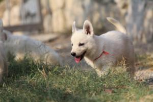 White-Swiss-Shepherd-Puppies-BTWW-GosaNostra-September-20092018-0168