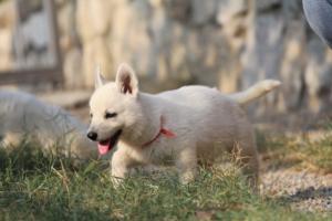 White-Swiss-Shepherd-Puppies-BTWW-GosaNostra-September-20092018-0169
