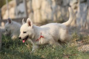 White-Swiss-Shepherd-Puppies-BTWW-GosaNostra-September-20092018-0170