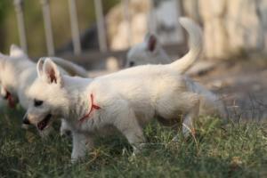 White-Swiss-Shepherd-Puppies-BTWW-GosaNostra-September-20092018-0173