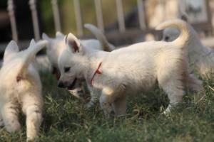White-Swiss-Shepherd-Puppies-BTWW-GosaNostra-September-20092018-0174