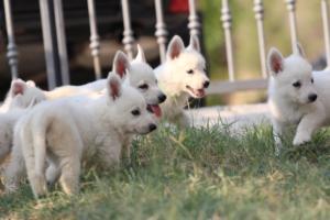 White-Swiss-Shepherd-Puppies-BTWW-GosaNostra-September-20092018-0175