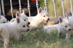 White-Swiss-Shepherd-Puppies-BTWW-GosaNostra-September-20092018-0176