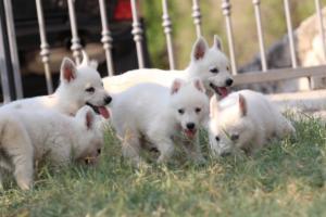 White-Swiss-Shepherd-Puppies-BTWW-GosaNostra-September-20092018-0177