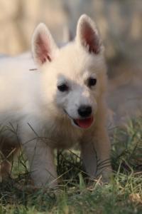 White-Swiss-Shepherd-Puppies-BTWW-GosaNostra-September-20092018-0178