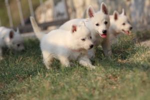 White-Swiss-Shepherd-Puppies-BTWW-GosaNostra-September-20092018-0179
