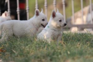 White-Swiss-Shepherd-Puppies-BTWW-GosaNostra-September-20092018-0180