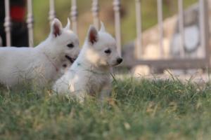 White-Swiss-Shepherd-Puppies-BTWW-GosaNostra-September-20092018-0181