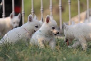White-Swiss-Shepherd-Puppies-BTWW-GosaNostra-September-20092018-0182