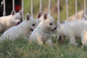 White-Swiss-Shepherd-Puppies-BTWW-GosaNostra-September-20092018-0183
