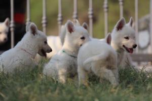 White-Swiss-Shepherd-Puppies-BTWW-GosaNostra-September-20092018-0184