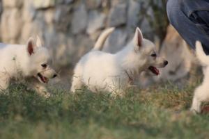 White-Swiss-Shepherd-Puppies-BTWW-GosaNostra-September-20092018-0187