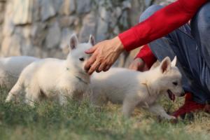 White-Swiss-Shepherd-Puppies-BTWW-GosaNostra-September-20092018-0189