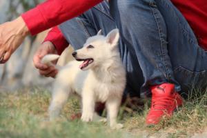 White-Swiss-Shepherd-Puppies-BTWW-GosaNostra-September-20092018-0191