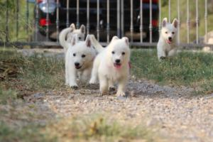 White-Swiss-Shepherd-Puppies-BTWW-GosaNostra-September-20092018-0192