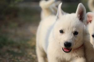 White-Swiss-Shepherd-Puppies-BTWW-GosaNostra-September-20092018-0194