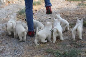 White-Swiss-Shepherd-Puppies-BTWW-GosaNostra-September-20092018-0195