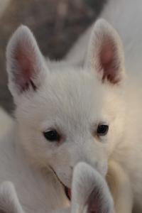 White-Swiss-Shepherd-Puppies-BTWW-GosaNostra-September-20092018-0200